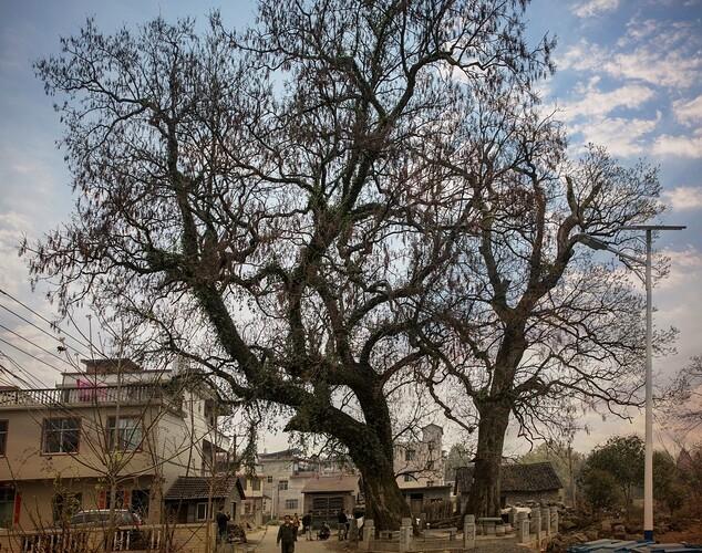 塘付村-两棵重阳木树
